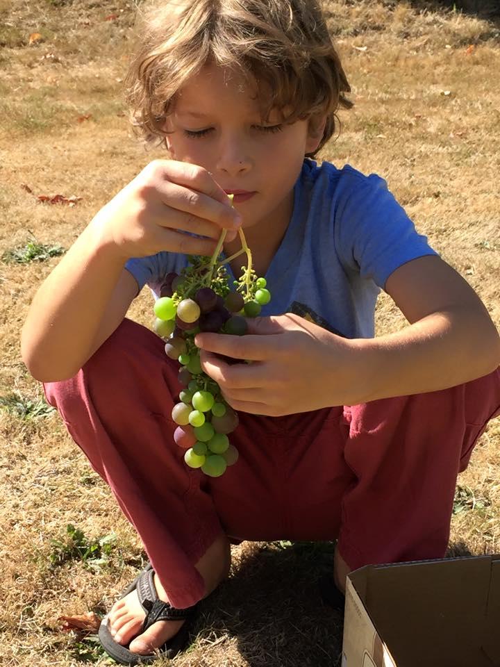brooks_grapes